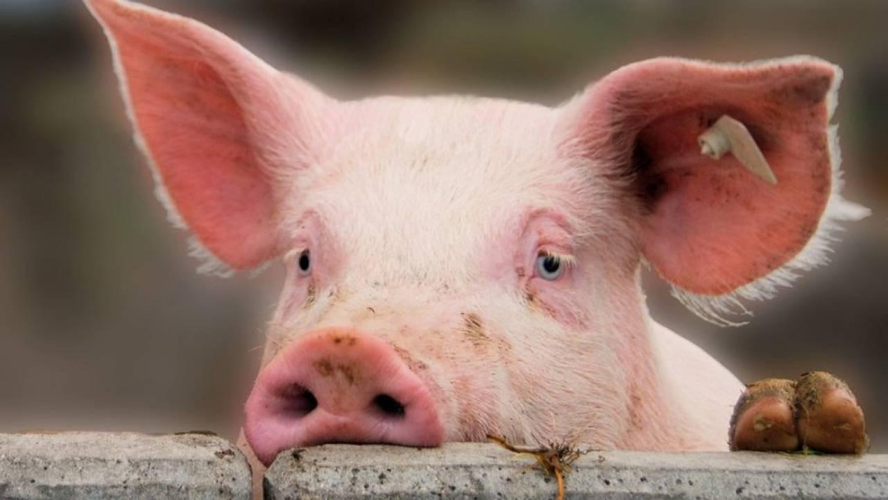 pig is sad