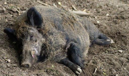 pig wild trup